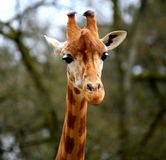 Girafe. Head of girafe in a french zoo.BEAUVAL Royalty Free Stock Photo