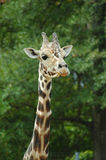 Girafe head and neck. Girafe approaching for a closer look Royalty Free Stock Photography