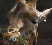 Girafe Stock Photo