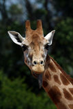 Girafe head with tongue. Out Stock Image