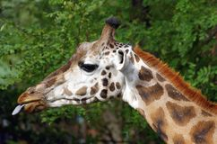 Girafe head. With tongue out Stock Images