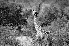 Girafe hurlant comme un loup - photo drôle Photos stock