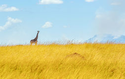 Girafe in Kenia Stockbild