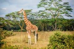 Girafe in Kenia royalty-vrije stock afbeeldingen