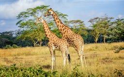 Girafe in Kenia Royalty-vrije Stock Foto's