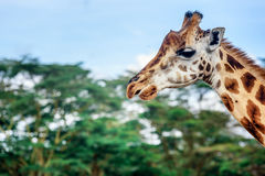 Girafe in Kenya. Giraffe with blue sky and trees  in Kenya Royalty Free Stock Photo