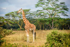 Girafe in Kenya. Giraffe in Masai Mara park resort in Kenya, Africa royalty free stock images