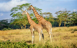 Girafe in Kenya Royalty Free Stock Photos
