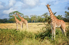 Girafe in Kenya. Giraffe in Masai Mara park resort in Kenya, Africa Stock Image