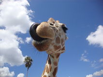 Girafe licking. Close picture of a girafe licking after being fed Stock Photo
