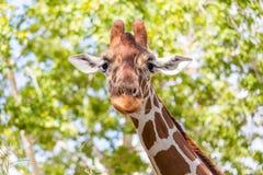 Girafe maladroite Photos libres de droits