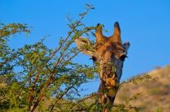 Girafe mangeant d'un arbre images libres de droits
