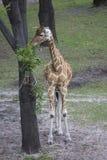 Girafe mangeant des branches placées sur l'arbre Image stock