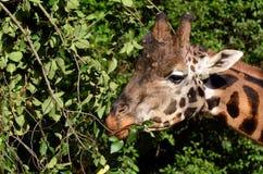 Girafe mangeant des feuilles photos libres de droits