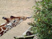 Girafe mangeant des feuilles des arbustes avec la languette longue photographie stock