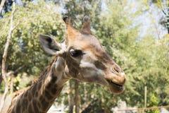 Girafe mangeant l'herbe au zoo Images libres de droits