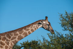Girafe mangeant les feuilles déchirées d'arbre Photo libre de droits