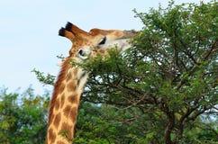 Girafe mangeant un buisson i Afrique images libres de droits
