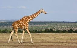 Girafe marchant à travers la savane sèche Photo stock