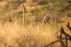 Girafe marchant par la haute herbe Afrique du Sud Photo stock