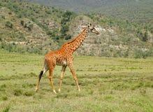 Girafe marchant sur la savane Photos libres de droits