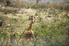 Girafe marchant vers le haut de la colline Image stock