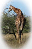 Girafe masculine Photographie stock