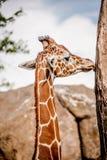 Girafe masculine parmi de hautes roches Image libre de droits