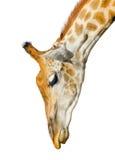 Girafe mignonne d'isolement sur le fond blanc Tête drôle de girafe d'isolement La girafe est l'animal vivant le plus grand et plu Photo libre de droits