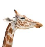 Girafe mignonne d'isolement sur le fond blanc Tête drôle de girafe d'isolement La girafe est l'animal vivant le plus grand et plu Photographie stock libre de droits