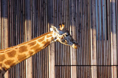 Girafe neck. Head of a girafe at the sunset in the zoo of Lyon Stock Images