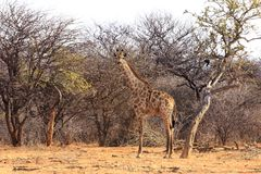 Girafe nel cespuglio Immagine Stock
