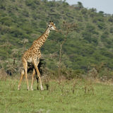 Girafe no Serengeti Foto de Stock Royalty Free