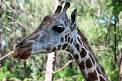 Girafe-Porträt Stockbild