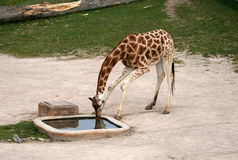 Girafe potable dans un zoo Photo libre de droits