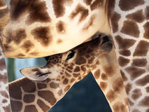 Girafe potable de bébé de lait Photo stock