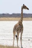 Girafe regardant à gauche Photographie stock