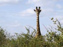 Girafe regardant fixement en stationnement est de Tsavo, Kenya Image stock