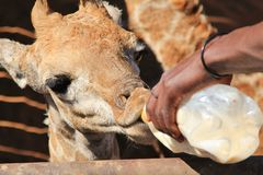 Girafe Rescue - Orphaned wildlife in Africa. A Giraffe is fed milk using the traditional bottle method.  This orphaned calf will be raised and rescued from Royalty Free Stock Photos