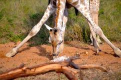 Girafe s'étirant vers le bas photo stock