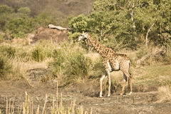 Girafe sauvage au coeur de la savane, parc national de Kruger, AFRIQUE DU SUD Photo stock