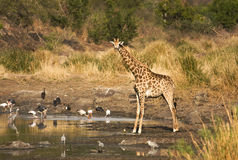 Girafe sauvage au coeur de la savane, parc national de Kruger, AFRIQUE DU SUD Photos stock