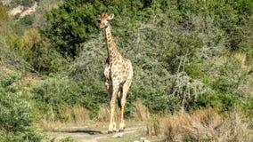 Girafe savoureuse Image stock