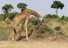 Girafe se pliant pour manger Photographie stock libre de droits