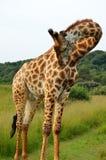 Girafe se pliant vers le bas dans le buisson Images libres de droits