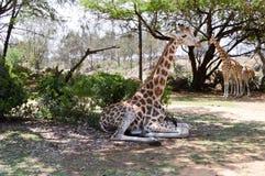 Girafe se reposant à la nuance photographie stock