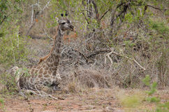Girafe se reposant au sol image stock