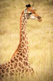 Girafe se reposant sur le champ Image libre de droits