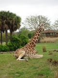 Girafe se reposante Photo stock