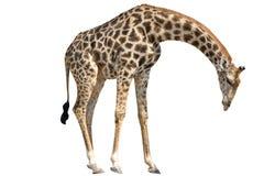Girafe se tenant abaissant la tête d'isolement sur le blanc photographie stock